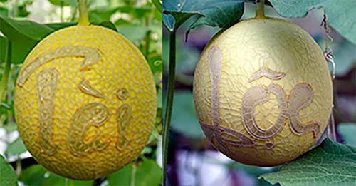 Dưa lưới khắc chữ tại trang trại của nông dân Trần Thanh Tiền. Ảnh: An Phú  - TAI LOC DOC DAO 500 4502 1547347728 - Dưa lưới miền Tây khắc chữ chưng Tết giá triệu đồng mỗi cặp