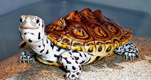 Những loại rùa cảnh tiền triệu ưa thích của giới nhà giàu  - rua kimcuong 1557130815 155713 8375 3414 1557133563 1200x0 310x165 - Những loại rùa cảnh tiền triệu ưa thích của giới nhà giàu