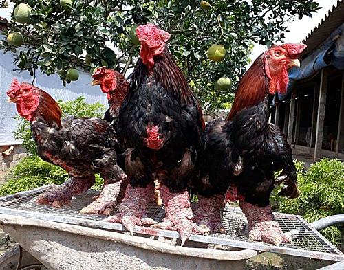 Những con gà Đông Tảo có bộ chân to. Ảnh: Anh Nghĩa.  - gadongtao 1568271518 5080 1568271586 - Hết thời 'sốt' gà Đông Tảo