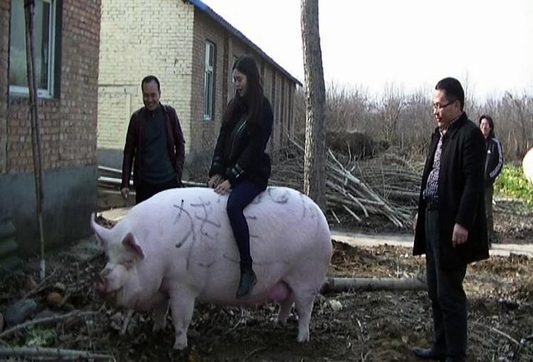 Một du khách cưỡi lên con lợn nặng 750kg tại trang trại thuộc thành phố Trịnh Châu. Ảnh: AFP  - 1x 1 1134 1570348012 - TQ phát triển 'lợn khổng lồ'