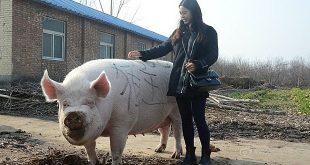 Trung Quốc phát triển 'lợn khổng lồ'  - pig 1570348629 1570348645 8089 1570348652 1200x0 310x165 - TQ phát triển 'lợn khổng lồ'